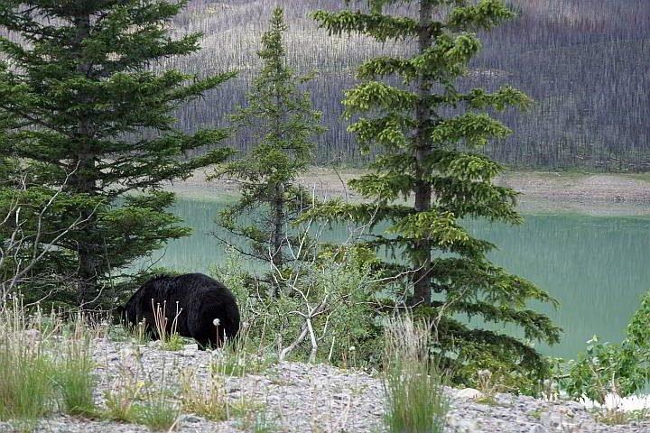 Black bear near Medicine Lake in Jasper National Park Canada