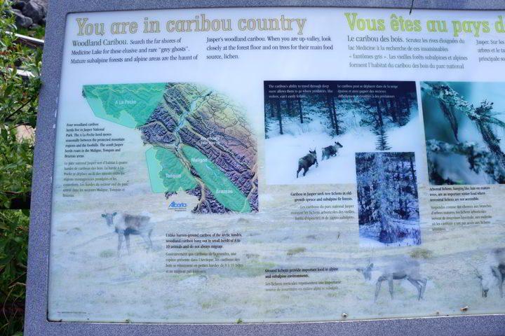 Woodland caribou information board at Medicine Lake