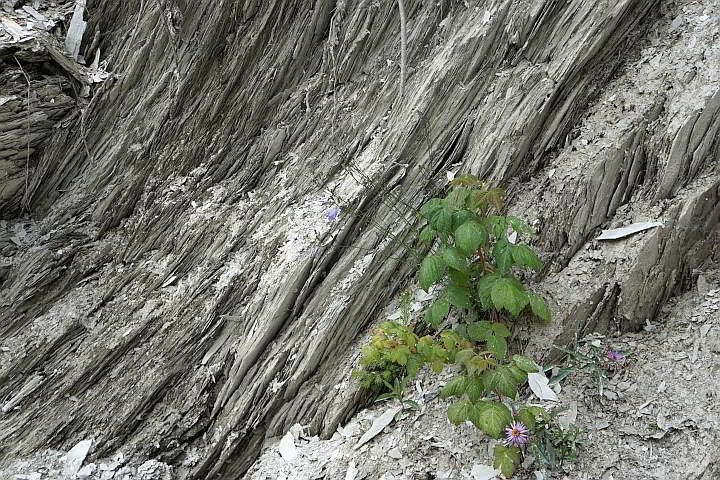 Plant growing from Burgess Shale