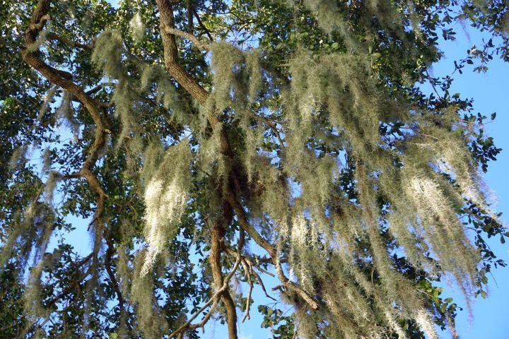 Spanish moss decorates a live oak tree in south Louisiana