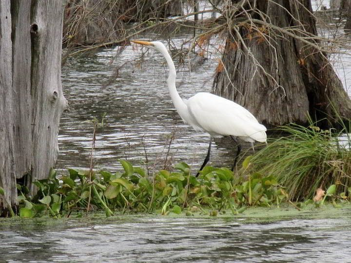 Great Egret at Lake Martin in south Louisiana