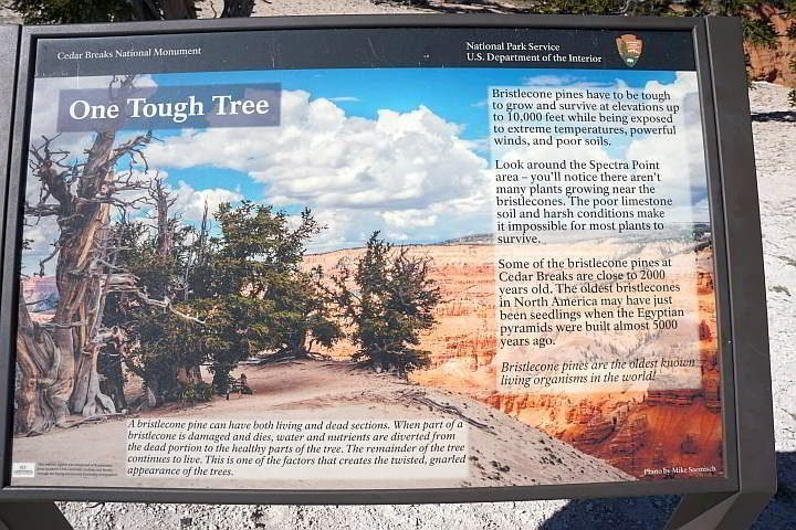 Bristlecone Pine Tree info panel at Cedar Breaks National Monument in Utah