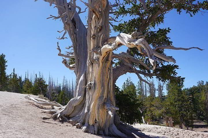 Bristlecone Pine Tree at Cedar Breaks - over 1,600 years old