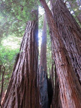 Giant Redwood Trees Muir Woods California
