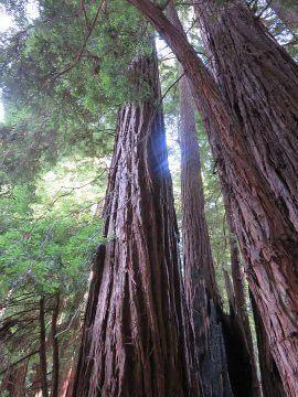 Muir Woods California Redwood Trees