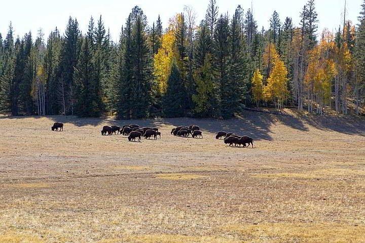 Bison herd Hwy 67 Arizona
