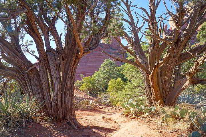 Juniper Trees Sedona Arizona