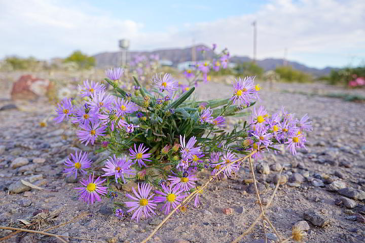 Purple flowers bloom in the desert of New Mexico on the Healing Waters Trail
