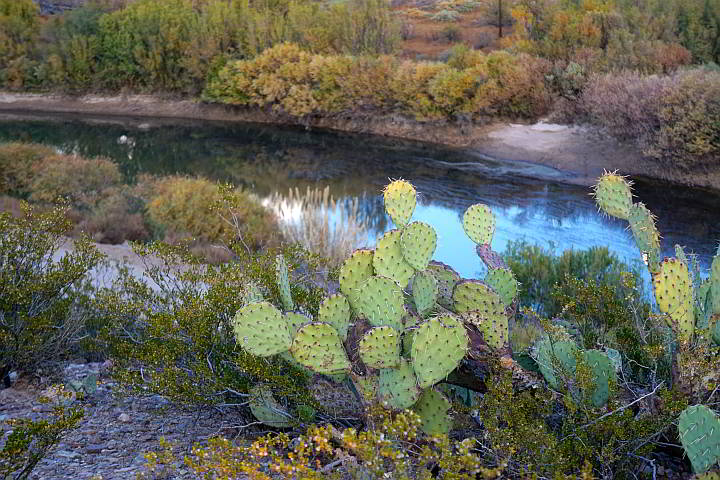 Prickly Pear Cactus on a ridge overlooking the Rio Grande