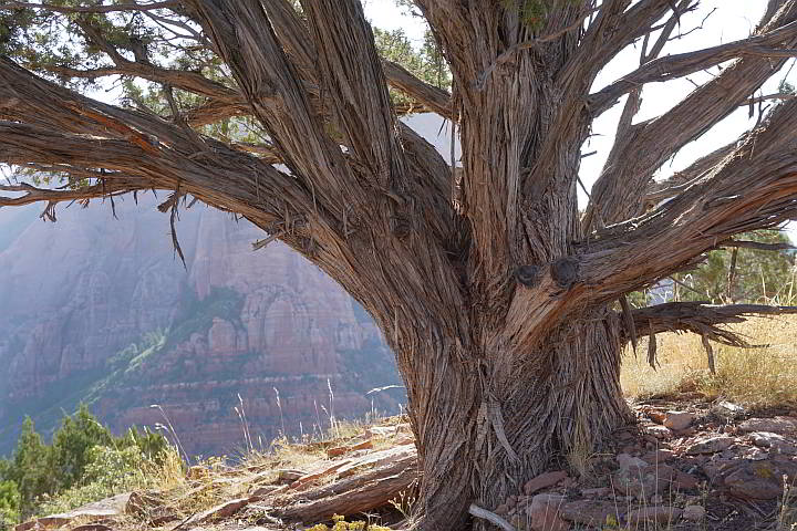 Utah Juniper tree with shaggy bark
