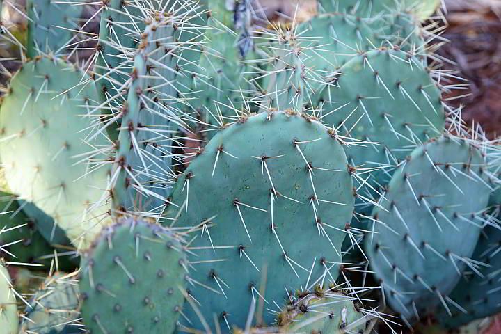 prickly pear cactus Arizona