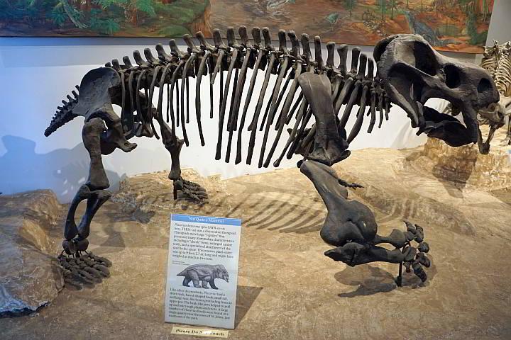 Placerias dinosaur fossil