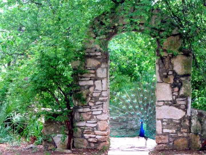 Peacock at the arch in Mayfield Park Austin Texas