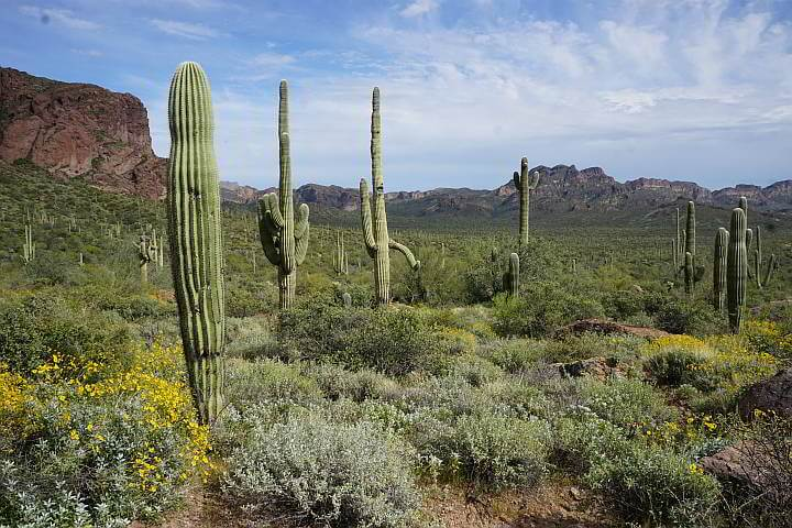 Saguaro cactus Arizona Tonto National Forest