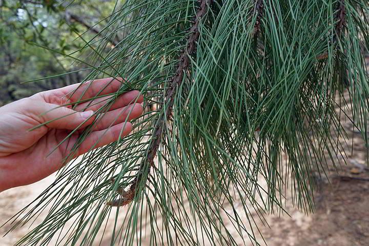 Ponderosa Pine needles are long