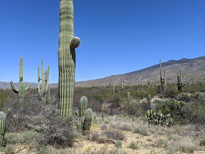 Saguaro Cactus big and small