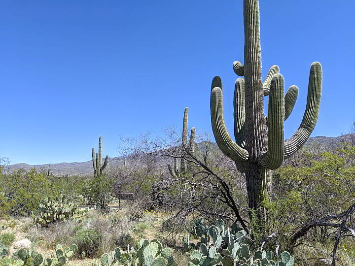 Saguaro Cactus with many arms
