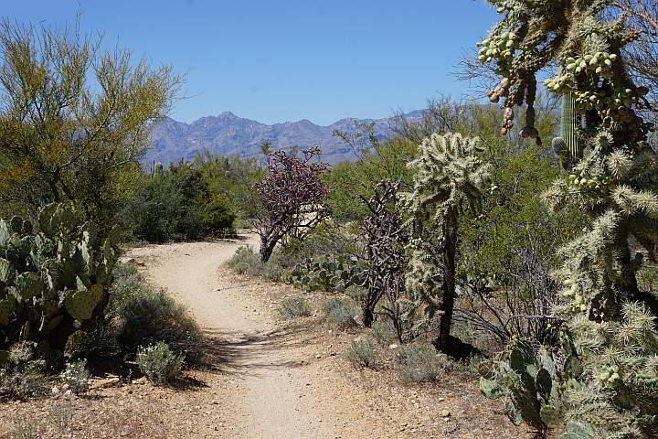 Saguaro National Park Cactus Forest Trail