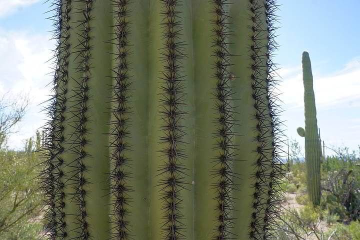 Saguaro pleats and spines