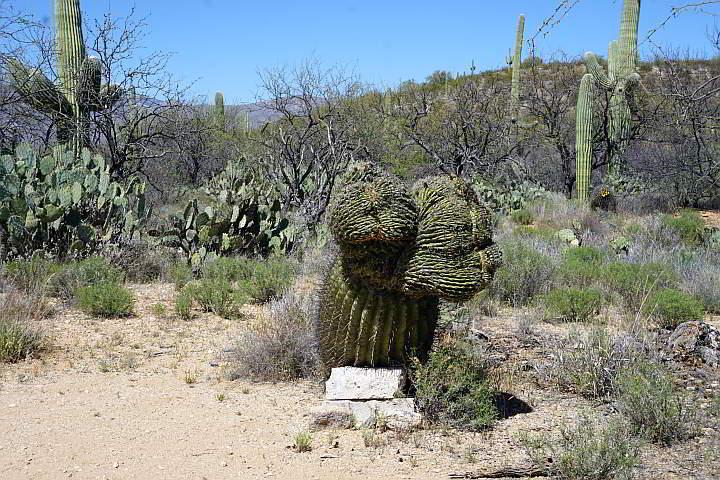 Variety of cacti at Saguaro National Park Arizona