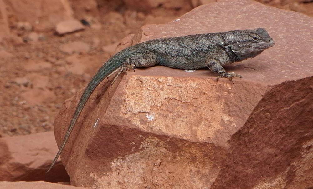 Lizard on a red rock Sedona Arizona