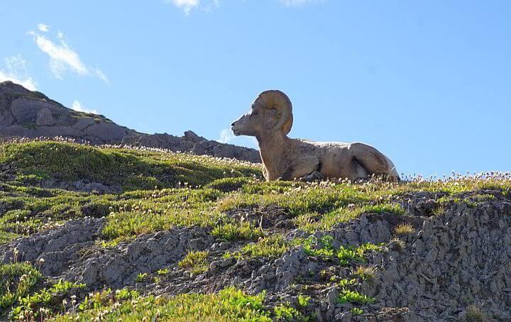 Bighorn Sheep Jasper National Park Canada