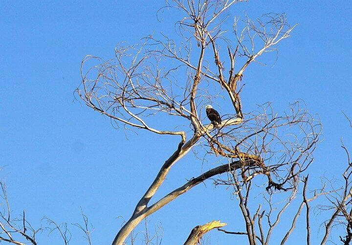 A bald eagle sits in a leaf bare tree with blue sky background
