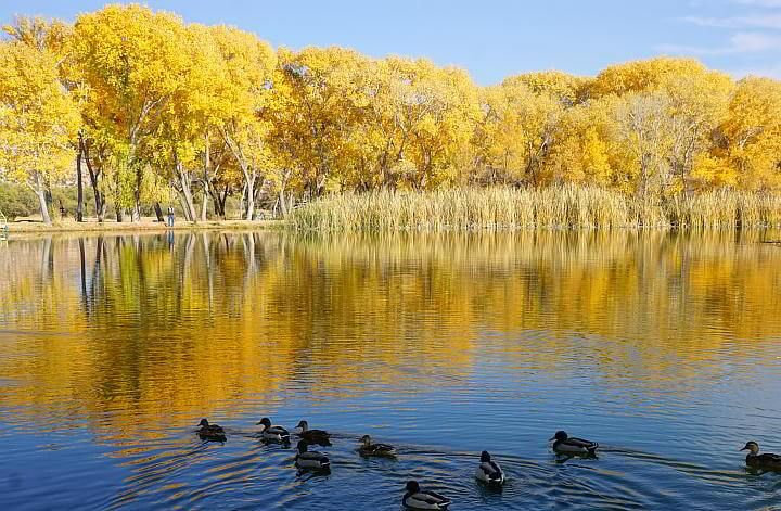 Ducks in water with autumn colors in background